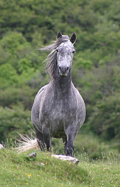 The Connemara Pony. Although the Irish Hobby is now extinct, it is thought the Connemara Pony may be similar to how it once appeared.